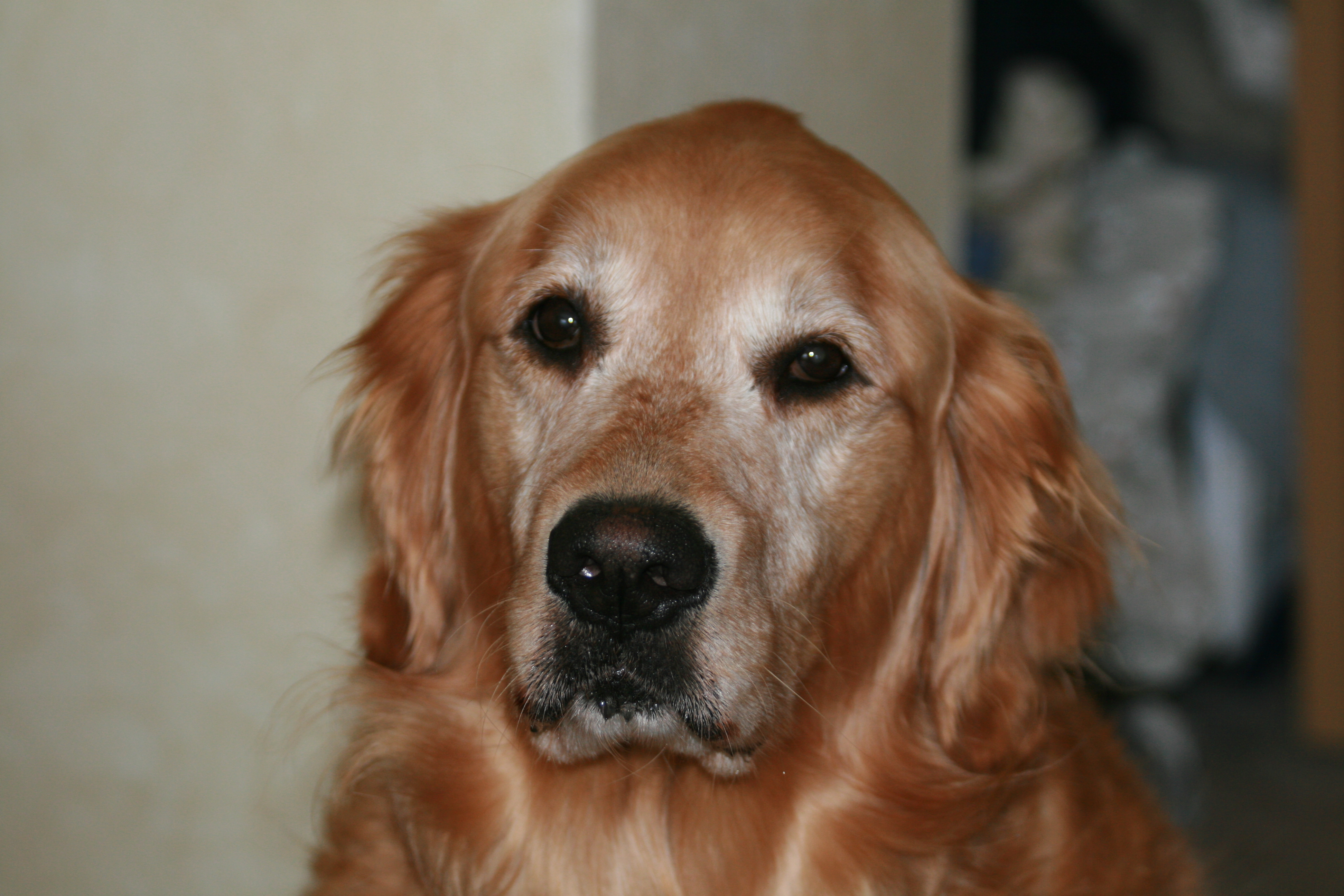 What causes liver and spleen cancer in dogs for Enlarged spleen in dogs